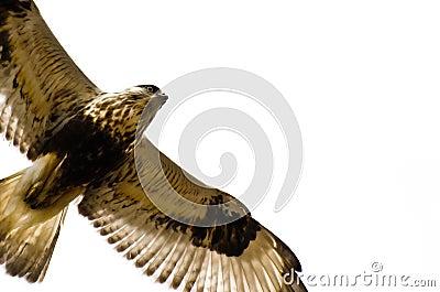 Rough-Legged Hawk on White Background