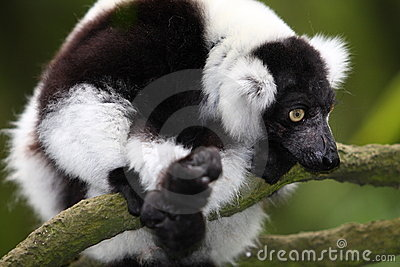 Rough Lemur