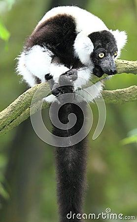 Rough Lemur