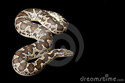 Rough-scaled sand boa