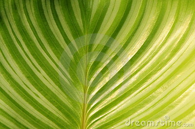 Round leaves Maranta