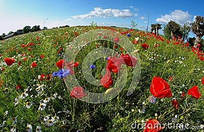 Round poppy field