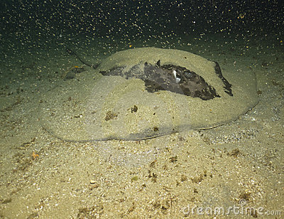 Round ribbon tail ray hiding in the sand