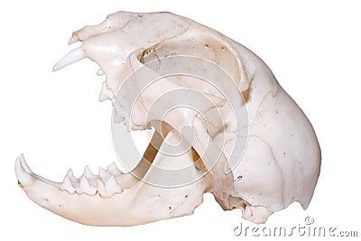 Rovdjurs- skalle