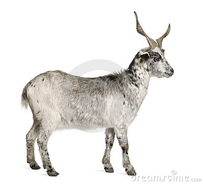 Free Rove Goat, 5 Years Old Stock Photography - 14539432