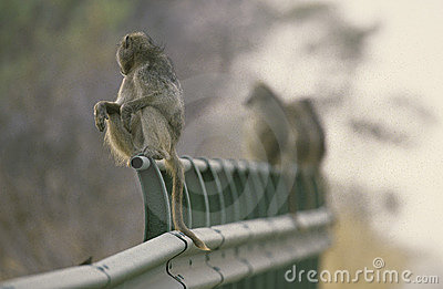 Row of baboons on a bridge, South Africa