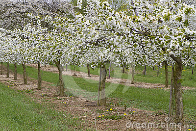 Row of blossoming cherry trees in spring