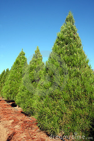 Row of Christmas pine trees at farm - vertical