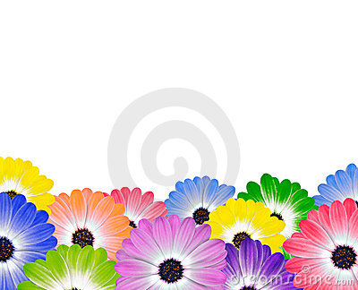 Row of Colorful Daisy Flowers on White