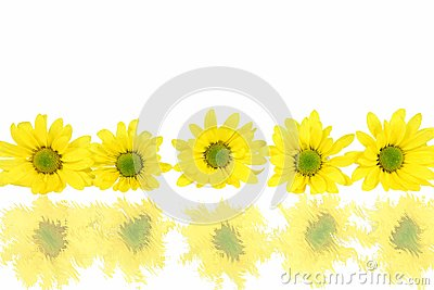 Row Of Daisies With Reflections On White