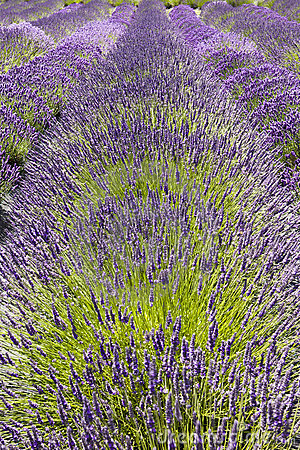 Row of Lavender Flowers