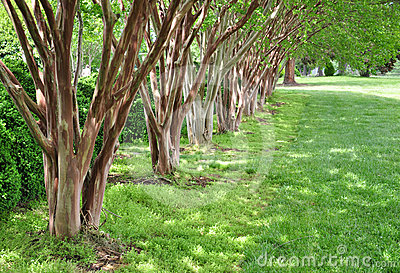 Row of Myrtle Trees