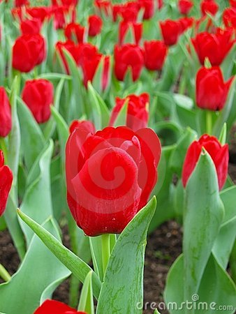 Free Row Of Red Tulips Stock Images - 631384