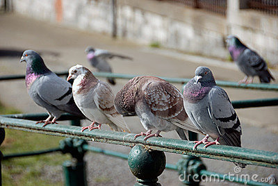 Row of pigeons