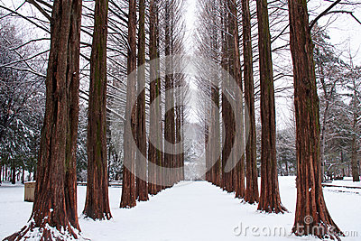 Row of pine trees