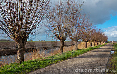 Row of pollard willows