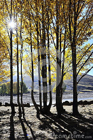A Row of Poplar Trees