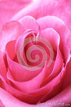 Różową różę