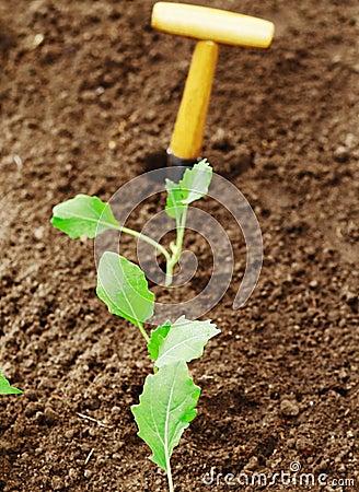 Row of transplanted seedlings