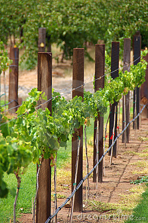 Row of Vines & Trellis Posts