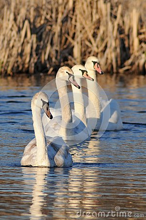 Row of young swans