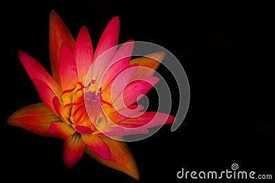 Różowa wodna leluja