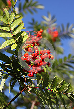 Rowan in autumn with red berries