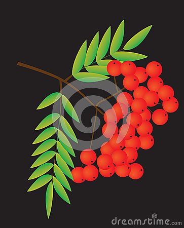 Rowan berries on a black background