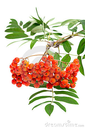 Rowan Berries And Leaves Royalty Free Stock Images - Image: 20819819
