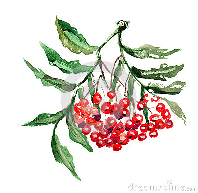 Rowan berries with leaves