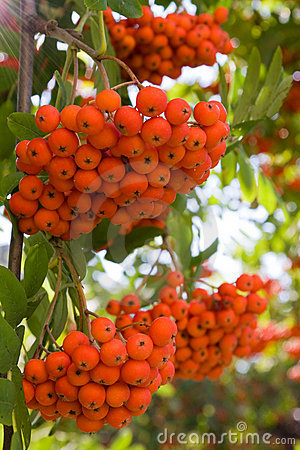 Rowan berries on a tree