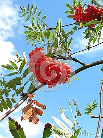 Rowan berries1