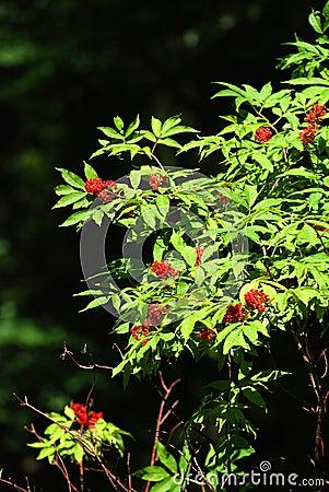 Rowan drzewo