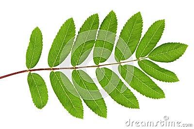 Rowan green leaf