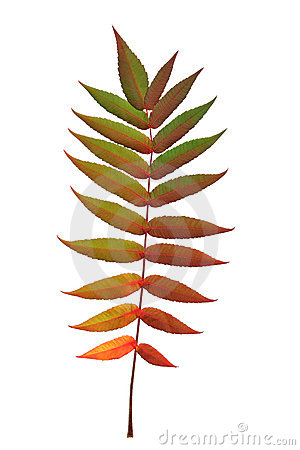Free Rowan Leaf In Autumn Stock Image - 4479311