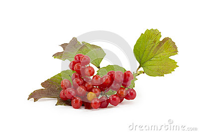 Rowan, rowanberry, rowan-tree