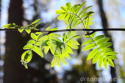 Rowan spring foliage