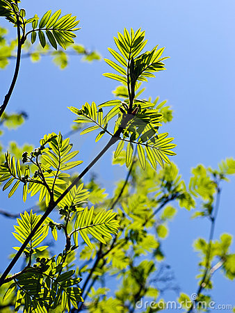 Rowan tree branches with leaves