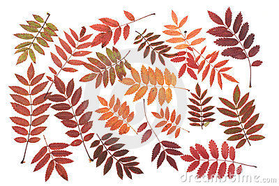 Rowanberry sheet background