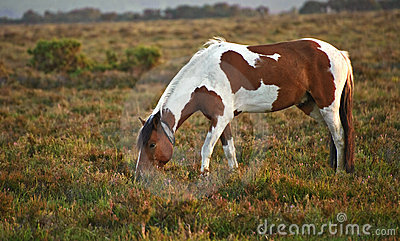 Rown and white New Forest pony sunrise
