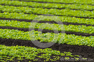Rows of baby lettuce leaf salad plants