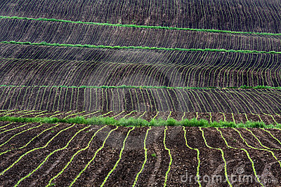 Rows of corn growing in field