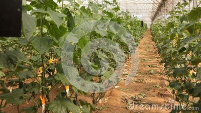 Rows of cucumber plants growing in large commercial greenhouse. Industrial vegetables cultivation. High quality FullHD footage stock video