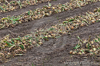 Rows with drying organically cultivated onions