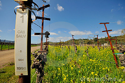Rows of empty grape vines with flowers.