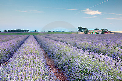 Rows of french lavender