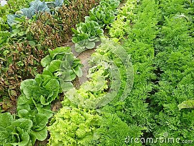 Rows in a garden