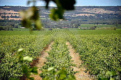 Rows of grape vines in McLaren Vale