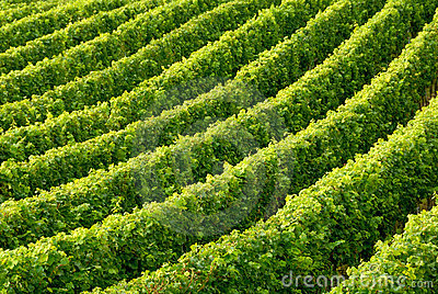 Rows of grapevine