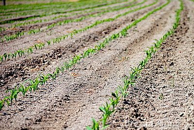 Rows of green seedling